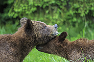 Canada, Khutzeymateen Grizzly Bear Sanctuary, Grizzly bears smelling each other - FO005369
