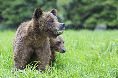 Canada, Khutzeymateen Grizzly Bear Sanctuary, Grizzly bears eating grass - FO005376