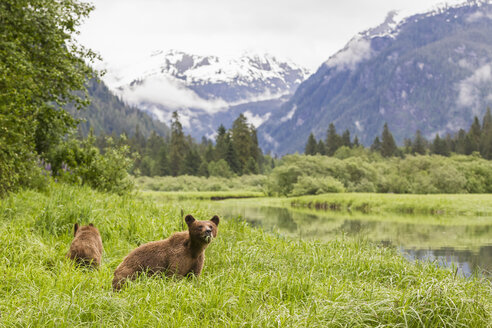 Canada, Khutzeymateen Grizzly Bear Sanctuary, Grizzly bears eating grass - FOF005395