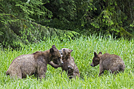 Canada, Khutzeymateen Grizzly Bear Sanctuary, Playing grizzly bears - FO005381