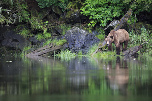 Canada, Khutzeymateen Grizzly Bear Sanctuary, Female grizzly at lakeshore - FOF005383