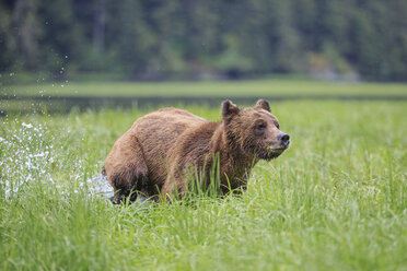 Canada, Khutzeymateen Grizzly Bear Sanctuary, Female grizzly at lakeshore - FOF005385