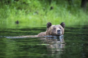 Canada, Khutzeymateen Grizzly Bear Sanctuary, Female grizzly swimming in lake - FOF005390
