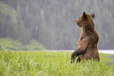 Canada, Khutzeymateen Grizzly Bear Sanctuary, Female grizzly standing upright - FO005401