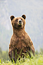 Canada, Khutzeymateen Grizzly Bear Sanctuary, Female grizzly standing upright - FOF005403