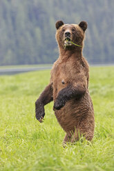 Canada, Khutzeymateen Grizzly Bear Sanctuary, Female grizzly standing upright - FOF005408