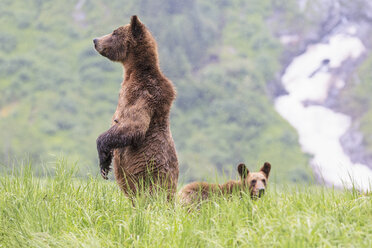 Canada, Khutzeymateen Grizzly Bear Sanctuary, Female grizzly standing upright with kid - FO005410