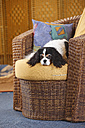 Cavalier King Charles Spaniel lying on a basket-chair - HTF000300