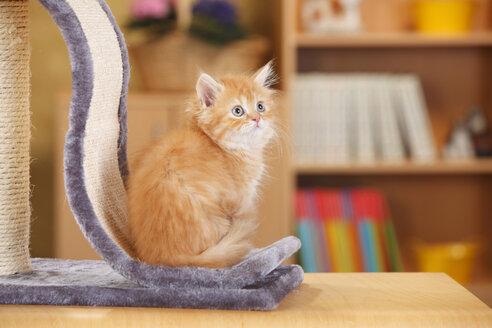 British Longhair, kitten, sitting at scratching post - HTF000307