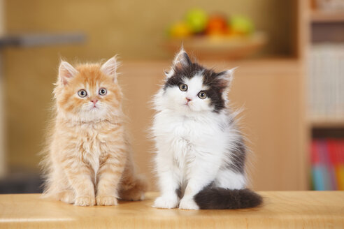 British Longhair, two kittens sitting side by side - HTF000310