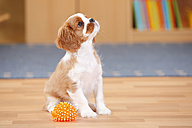 Cavalier King Charles Spaniel, puppy, with toy, looking up - HTF000314