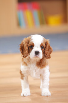 Cavalier King Charles Spaniel, puppy, standing on wooden floor - HTF000315
