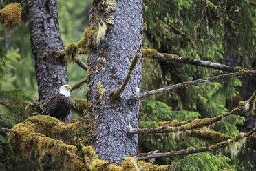 Canada, British Columbia, Khutzeymateen Provincial Park, bald eagle, Haliaeetus leucocephalus - FOF005411