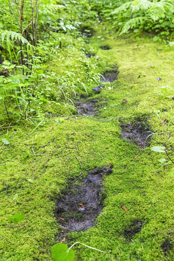 Canada, British Columbia, Khutzeymateen Valley, Khutzeymateen Provincial Park, Khutzeymateen Grizzly Bear Sanctuary, footprints of a grizzly bear - FOF005413 - Fotofeeling/Westend61