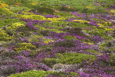 France, Bretagne, Cap Frehel, Landscape with gorse and heather - BIF000250