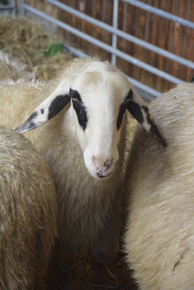 Portrait of Carinthian sheep or spectacles sheep - AXF000603