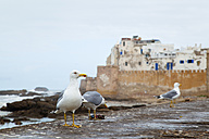 Morocco, Essaouira, view to fortress, three seagulls standing in front - HSIF000314