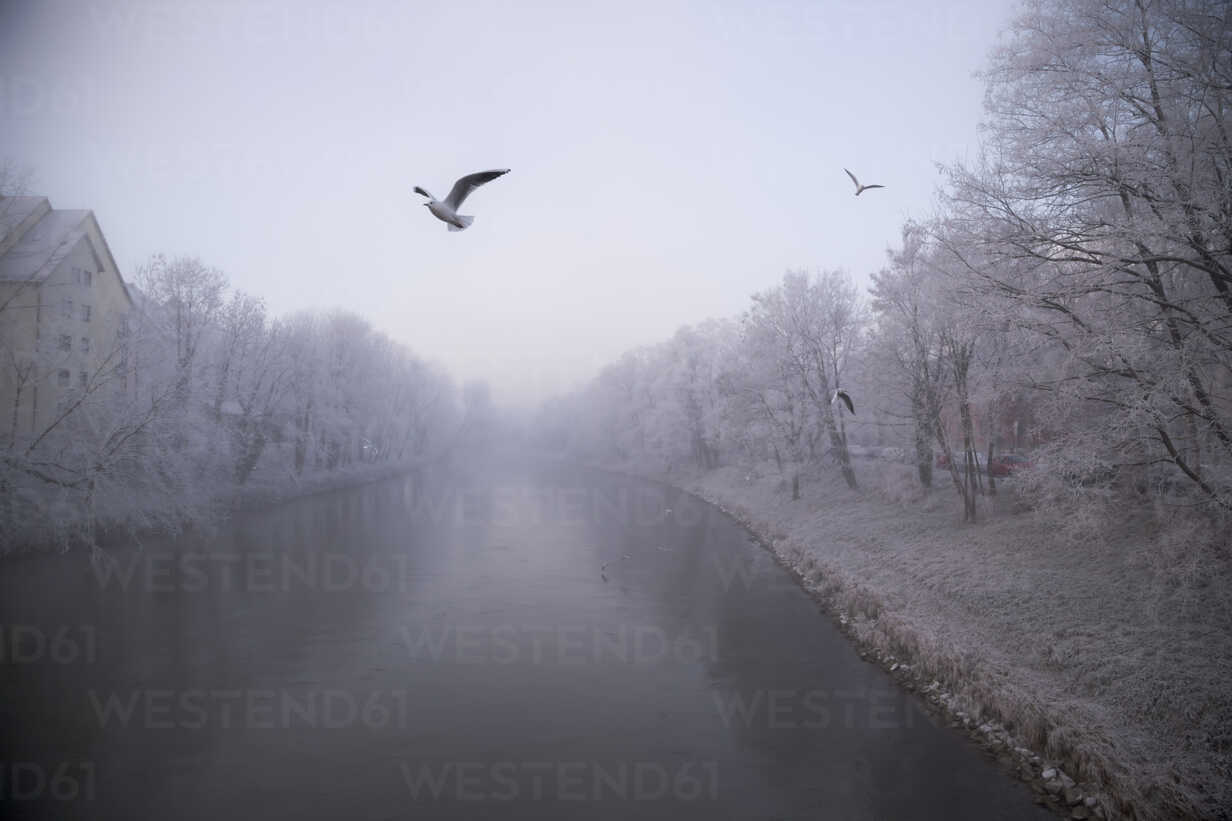 Germany, Bavaria, Landshut, Isar river and seagulls, morning mist - SARF000181 - Sandra Rösch/Westend61