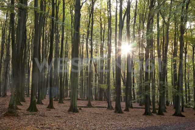 Germany, Mecklenburg-Western Pomerania, Ruegen, Jasmund National Park, beech forest against the sun - WIF000255 - Wilfried Wirth/Westend61