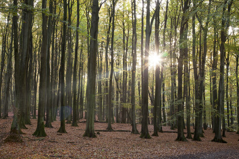 Germany, Mecklenburg-Western Pomerania, Ruegen, Jasmund National Park, beech forest against the sun - WIF000255