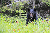 Canada, Rocky Mountains, Alberta. Jasper National Park, American black bear (Ursus americanus) on a meadow - FOF005507