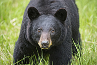 Canada, Rocky Mountains, Alberta. Jasper National Park, American black bear (Ursus americanus), close-up - FOF005496