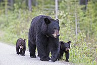 Canada, Rocky Mountains, Alberta. Jasper National Park, American black bear (Ursus americanus) with bear cubs walking on a road - FOF005491