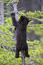 Canada, Rocky Mountains, Alberta. Jasper National Park, American black bear (Ursus americanus) bear cub climbing on tree - FOF005488