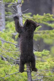 Canada, Rocky Mountains, Alberta. Jasper National Park, American black bear (Ursus americanus) bear cub climbing on tree - FOF005488