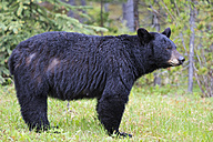 Canada, Rocky Mountains, Alberta. Jasper National Park, American black bear (Ursus americanus) on meadow - FOF005484
