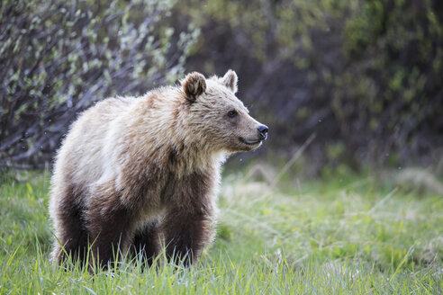 Canada, Alberta, Jasper and Banff National Park, Young Grizzly bear - FOF005575
