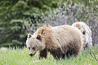 Canada, Alberta, Jasper and Banff National Park, Two young Grizzly bears - FOF005576