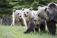 Canada, Alberta, Jasper and Banff National Park, Grizzly bears, mother with young animals - FOF005577