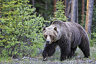 Canada, Alberta, Jasper and Banff National Park, Male Grizzly bear - FOF005580