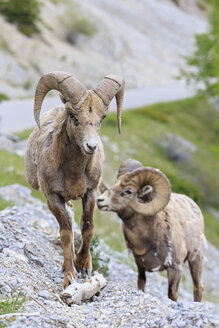 Canada, Alberta, Rocky Mountains, Jasper National Park, Banff Nationalpark, two rocky mountain bighorn sheeps (Ovis canadensis) on the move - FOF005582