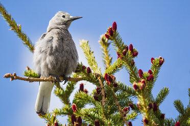 Canada, Alberta, Rocky Mountains, Jasper National Park, Banff Nationalpark, Clark's nutcracker (Nucifraga columbiana) sitting on a twig - FOF005549