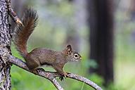Canada, Alberta, Rocky Mountains, Jasper National Park, Banff Nationalpark, American red squirrel (Tamiasciurus hudsonicus) sitting on a branch - FOF005512