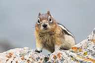 Canada, Alberta, Rocky Mountains, Jasper National Park, Banff Nationalpark, Canada, Alberta, Rocky Mountains, Jasper National Park, Banff Nationalpark, golden-mantled ground squirrel (Callospermophilus lateralis) standing on a rock - FO005521