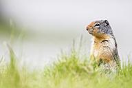 Canada, Alberta, Rocky Mountains, Jasper National Park, Banff Nationalpark, Columbian ground squirrel (Urocitellus columbianus) standing on a meadow - FO005536