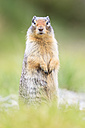Canada, Alberta, Rocky Mountains, Jasper National Park, Banff Nationalpark, Columbian ground squirrel (Urocitellus columbianus) standing on a meadow - FOF005524