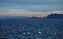 Germany, Lake Constance and swans, Alps in the background, in the evening - JTF000508