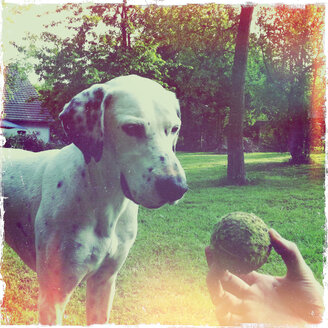 In the garden, dog playing with tennis ball, Dalmatian mix - ONF000380