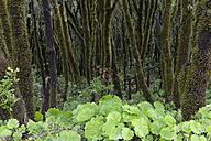 Spain, Canary Islands, La Palma, Cumbre Nueva, Cloud forest - SIEF004957