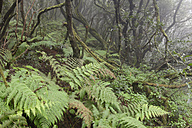 Spain, Canary Islands, La Palma, Cumbre Nueva, Cloud forest - SIEF004955