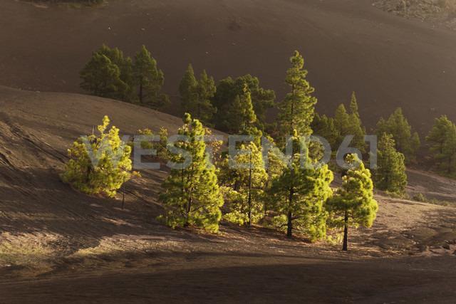 Spain, Canary Islands, La Palma, Llano de Jable near El Paso, Canary Island pines (Pinus canariensis) - SIEF004939 - Martin Siepmann/Westend61