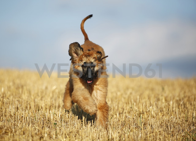 Afghan hound, puppy, running on stubble field - SLF000281