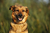 Portrait of German shepherd mongrel sitting in front of a meadow - SLF000270