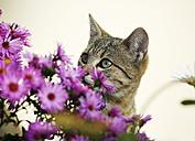 Tabby kitten behind pink blossoms - SLF000250