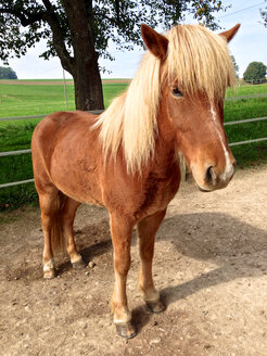 An Island Pony, Switzerland, Thurgau, Klingenzell - JED000061