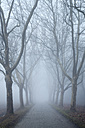 Germany, Baden-Wuerttemberg, Constance district, avenue of plane trees in fog - ELF000807